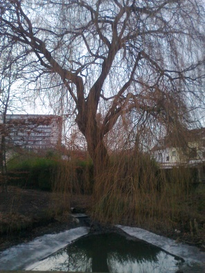 A weeping willow at parc Heronnière/Reigersbospark.