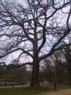 An oak tree in Terkamerenbos/Bois de la Cambre.