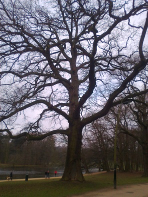 An oak tree in Terkamerenbos/Bois de la Cambre.