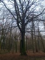 Spooky tree in Terkamerenbos/Bois de la Cambre.